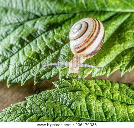 Land snail on the leaf. Macro.