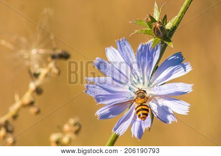 bee collects nectar with chicory close macro