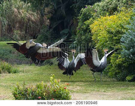 Crowned Crane birds with blue eye and red wattle