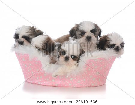litter of shih tzu puppies in a dog bed