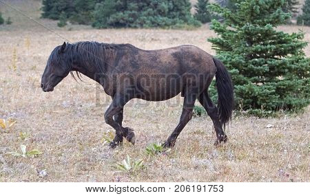 Wild Feral Horse - Dirt covered Black Stallion in the Pryor Mountains Wild Horse Range in Montana United States poster