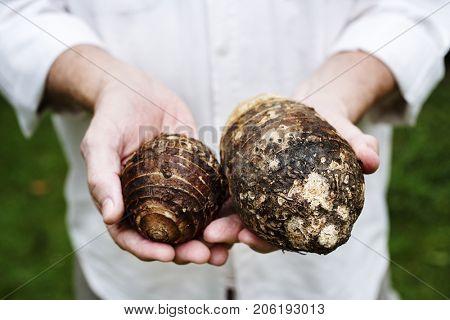Hands holding taro organic produce from farm
