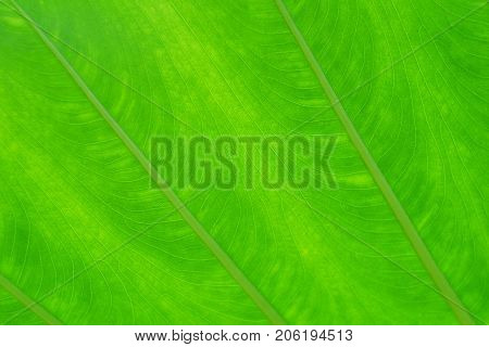 Green leaf texture for background. abstract autumn background beauty botany bright cell closeup.