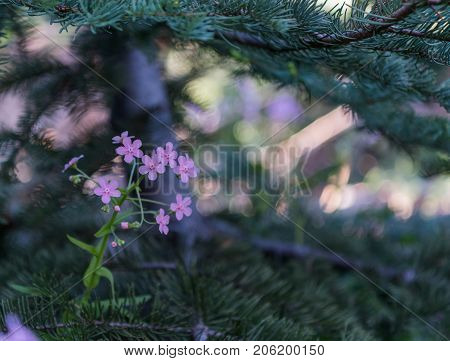 Small Purple Wildflowers in Pine Tree Branch