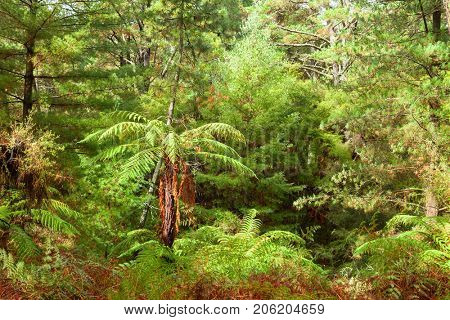 Temperate rain forest with fern trees, North Island, New Zealand