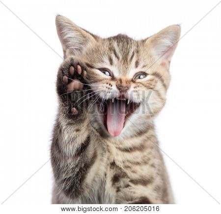 Funny cat portrait with open mouth and raised paw isolated