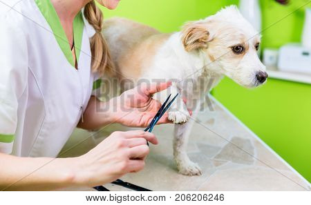Pedicure for little dog in pet grooming parlor, woman is cutting his paws
