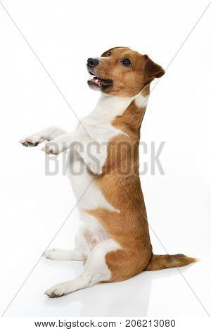 Jack Russell Terrier. Funny cute young dog sitting and posing in studio.