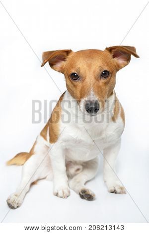 Jack Russell Terrier. Funny cute young dog sitting, posing and looking at camera in studio.