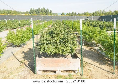 Cannabis plantation in Washington state