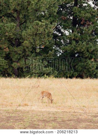female Whitetail deer (Odocoilus virginianus)  poster