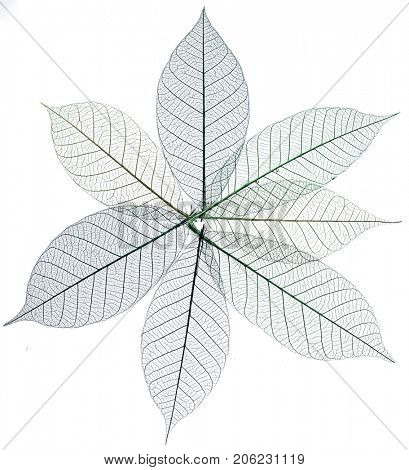 Skeletons of leaves. Isolated on a white background.