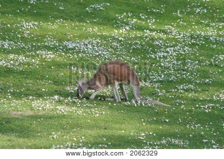 Kangoroo In Berlin Zoo
