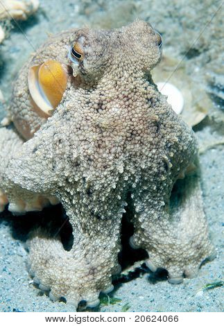 Common Atlantic Octopus on the alert outside its burrow. poster