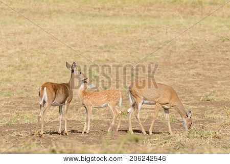 Whitetail deer (odocoilus virginianus) on farmland in Washington