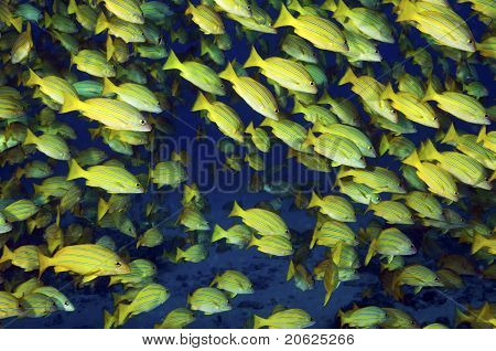 Blue Strpied Snappers