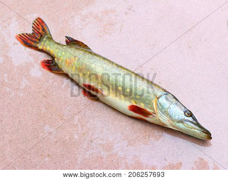 The Northern Pike (Esox Lucius). Fishing catch, harvest of fish pond. Fishes are source of tasty meat appropriate for diet.