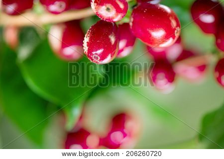 Coffee Plant. Red coffee beans growing on a branch of coffee tree. Branch of a coffee tree with ripe fruits close up