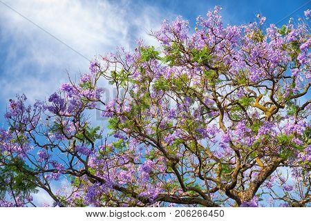 Black Poui Or Jacaranda Mimosifolia