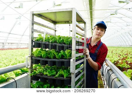 Young agro-engineer pushing cart with green lettuce seedlings in small pots