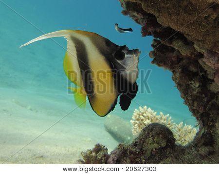 Morray unter einem Korallenblock im klaren blauen Wasser