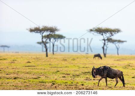 Wildebeests in Masai Mara National park in Kenya