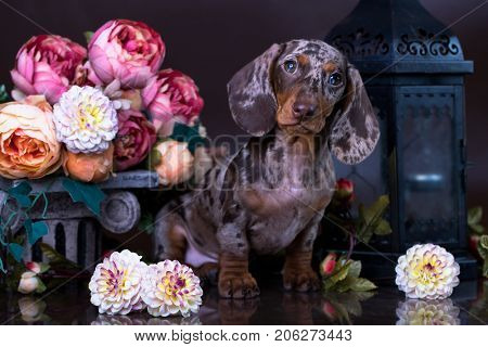 Dachshund puppy marble color on a black background