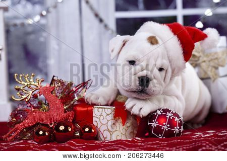 Christmas english bulldog puppy