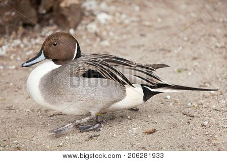 Northern pintail (Anas acuta). Wild life animal.
