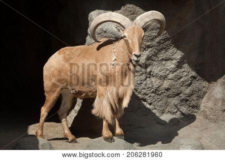 Barbary sheep (Ammotragus lervia). Wild life animal.