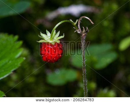 Red Fragaria Or Wild Strawberry on branch macro selective focus shallow DOF.