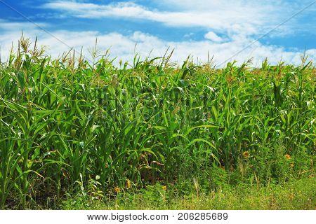 Maize growing in field