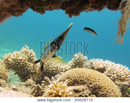 Morray und cleaner Wrasse in clear blue water