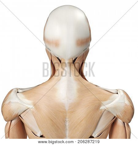 3d rendered medically accurate illustration of the upper back muscles