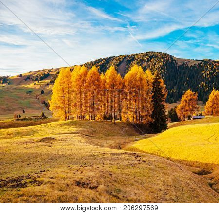 Magic image of yellow larches in sunlight. Unusual and gorgeous scene. Location place Dolomiti, Compaccio, Seiser Alm or Alpe di Siusi, Province of Bolzano - South Tyrol, Italy, Europe. Beauty world.
