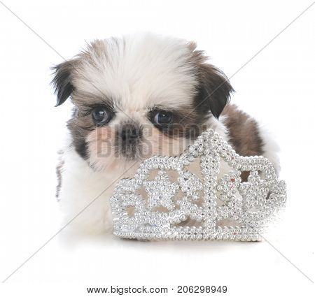 female shih tzu puppy laying inside a tiara on white background