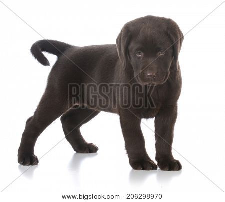 female chocolate labrador retriever puppy standing on white background