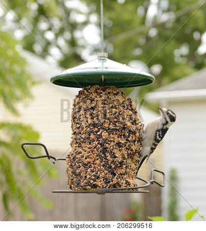 Male Downy Woodpecker at a feeder