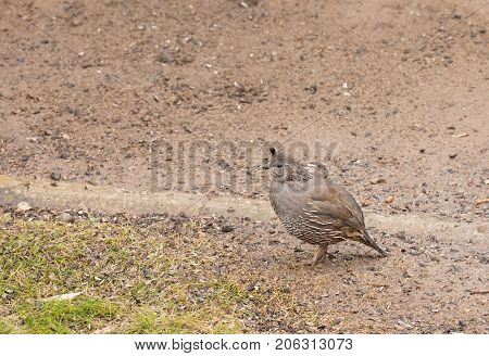 female California Quail in search of food