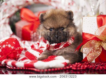 christmas puppy spitz