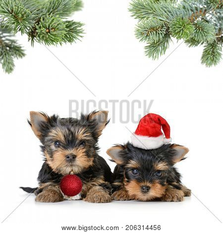 two yorkshire terrier dog in the santa hat isolated on white,Merry Christmas and Happy New Year