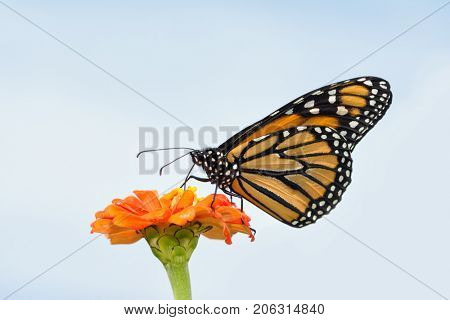 Beautiful Monarch butterfly feeding on an orange Zinnia against slightly cloudy sky