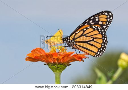 Monarch butterfly on an orange zinnia flower, sharing it with a tiny Skipper butterfly, against blue sky background