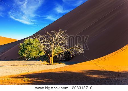 Small tree in a vast desert. Orange, purple and yellow dunes of the Namib desert. The concept of extreme and exotic tourism. Namibia, South Africa