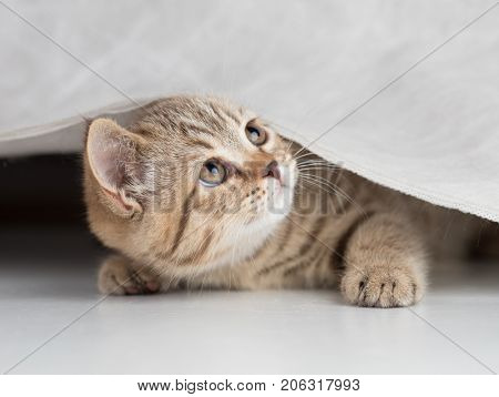 Funny cat looking up from under white curtain