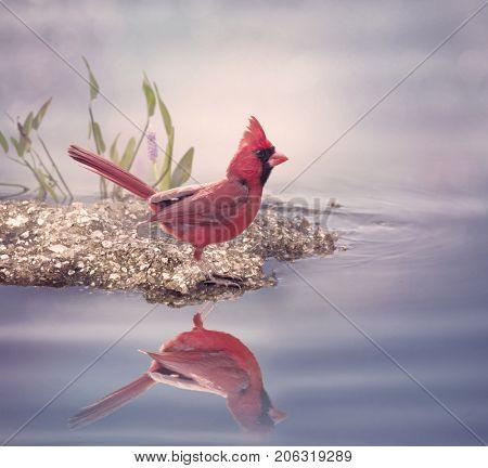Male Northern Cardinal near water
