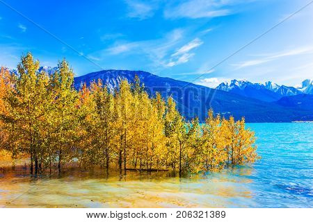 Aspen groves are flooded with an artificial Abraham Lake. Rocky Mountains of Canada. The concept of active and ecological tourism