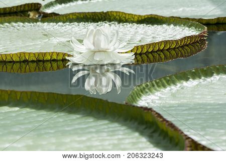 Single Victoria Amazonica - Amazon Waterlily