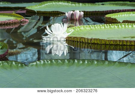 Two Victoria Amazonica - Amazon Waterlily