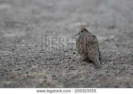 Spotted dove ( Scientific name Spilopelia chinensis ) on the ground with copy space background. Selective focus and shallow depth of field.